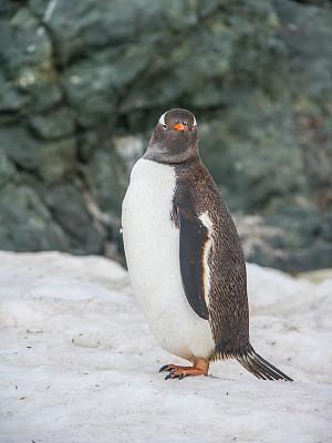 巴布亚企鹅,南极洲,海港,天堂海湾,垂直画幅,无人,海鸟,企鹅,摄影