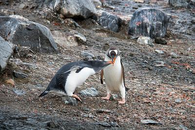 南极洲,巴布亚企鹅,天堂海湾,磷虾,呕吐物,水平画幅,无人,海鸟,企鹅,喂养