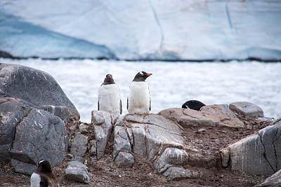 洛克莱港,巴布亚企鹅,南极洲,水,水平画幅,无人,鸟类,企鹅,户外,海洋