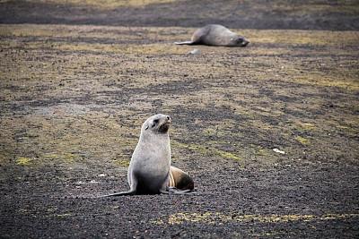 南极海熊,迷幻岛,南极洲,海熊,野生动物,海滩,水平画幅,无人,野外动物,户外