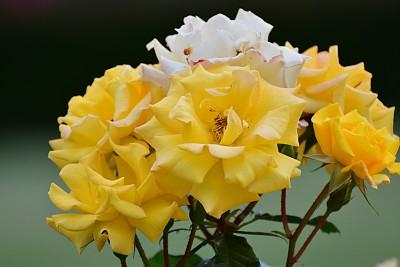玫瑰,荆棘,多年生植物,水平画幅,无人,夏天,户外,花束,白色,植物