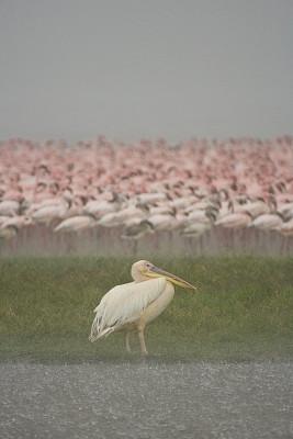 鹈鹕,火烈鸟,纳库鲁湖,纳库鲁,暴雨,垂直画幅,水,暴风雨,重的,气候