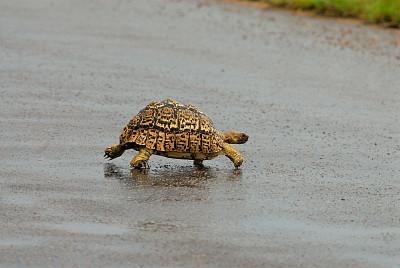 豹斑龜,身材矮小,海龜,克魯格國家公園,橫越,龜殼,水平畫幅,路,非洲,動物習性