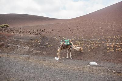 兰萨罗特岛,骆驼,timanfaya national park,狩猎动物,火山地形,加那利群岛,水平画幅,沙子,大西洋群岛,夏天
