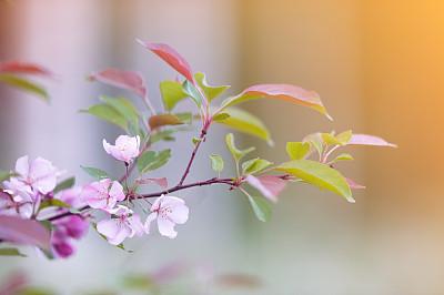 苹果花,螃蟹,海棠,野苹果树,园林,果树,芬兰,仅一朵花,庭院