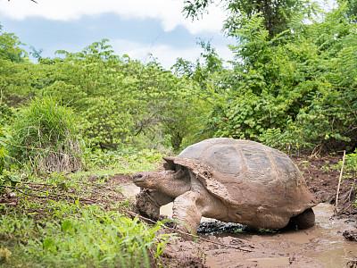 加拉帕戈斯陸龜,龜,厄瓜多爾,加拉帕戈斯群島,圣克魯斯島,龜殼,特有物種,瀕危物種,泥,水平畫幅