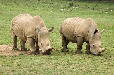 犀牛,一对,动物皮,灰色,水平画幅,巨大的,两只动物,草,食草,有角的