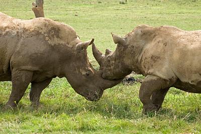 犀牛,水平画幅,进行中,巨大的,两只动物,哺乳纲,运动,彩色图片,非洲人,硬朗