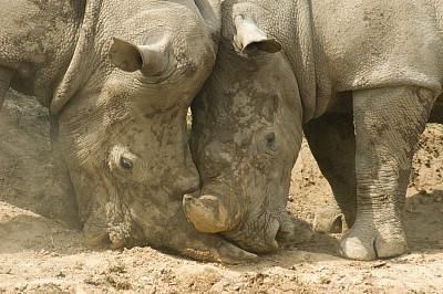犀牛,动物泥浴,水平画幅,进行中,巨大的,泥土,两只动物,哺乳纲,运动,彩色图片