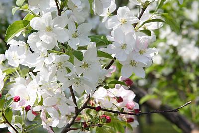 苹果花,蒙特利尔,水平画幅,无人,户外,春天,苹果,彩色图片,植物学
