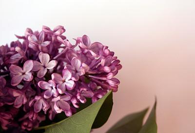 粉色背景,丁香花,紫色丁香,生日卡,美,贺卡,留白,芳香的,水平画幅,无人