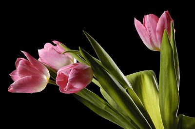 郁金香,小路,分离着色,黑色背景,四个物体,粉色,复活节,芳香的,水平画幅,无人