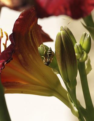 黄蜂,萱草,垂直画幅,花蕾,彩色图片,无人,特写,昆虫,花,攀爬