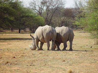 白犀牛,犀牛,一对,水平画幅,两只动物,伴侣,旅行者,野外动物,臀部,哺乳纲