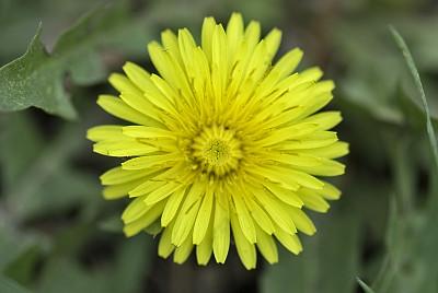 蒲公英,蒲公英种子,自然,美,水平画幅,绿色,无人,野生植物,特写,仅一朵花