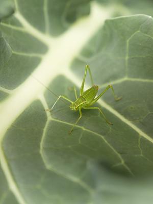 蚱蜢,自然,垂直画幅,绿色,无人,直翅目,特写,春天,植物,西兰花