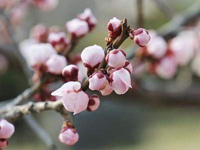 花蕾,梅子,梅花,春天,水平画幅,彩色图片,无人,植物学,花朵,季节