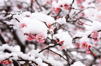 梅花,雪,日本,在下面,公园,水平画幅,无人,户外,花蕾