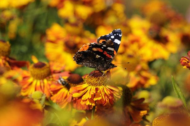 小蛱蝶,自然,美,式样,野生动物,水平画幅,蝴蝶,无人,动物身体部位,张开翅膀