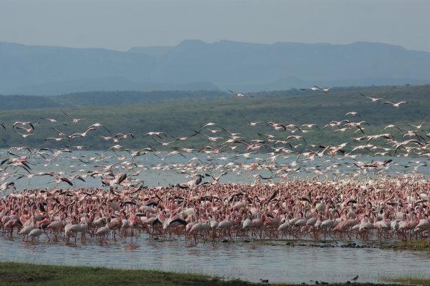 火烈鸟,纳库鲁湖国家公园,巴林哥湖,大火烈鸟,水平画幅,鸟类,粉色,户外,肯尼亚,小火烈鸟
