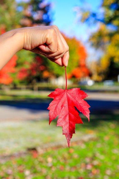 枫叶,秋天,红色,鸡爪枫,叶脉,星和园,垂直画幅,无人,纯净,户外