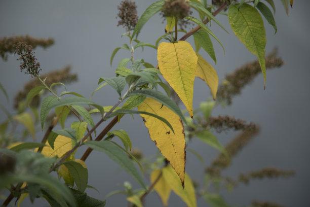 秋天,叶子,自然,式样,黄金,水平画幅,枝繁叶茂,生物,无人,色彩鲜艳