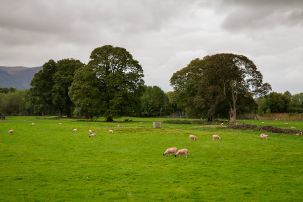 英格兰,草,食草,绵羊,英格兰湖区,枝繁叶茂,水平画幅,无人,夏天,户外