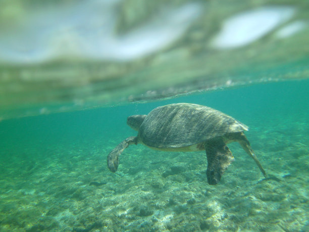綠蠵龜,自然,海龜,旅游目的地,水平畫幅,無人,蜥蜴,海魚,海洋,大洋洲