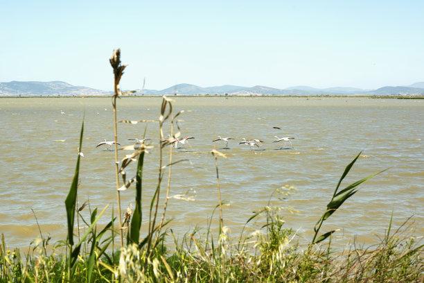 小火烈鸟,纳库鲁湖,碱
