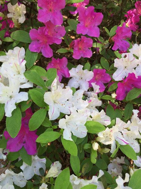 木槿属,植物,垂直画幅,白色,春天,美国,无人,粉色,户外,鲜花盛开