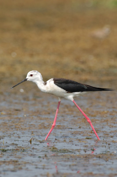 黑翅长脚鹬,垂直画幅,池塘,无人,意大利,沼泽,动物迁徙,��形目,户外,泻湖