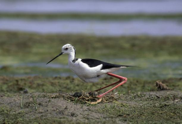 动物的巢,黑翅长脚鹬,水平画幅,无人,沼泽,��形目,户外,泻湖,鸟巢,池塘