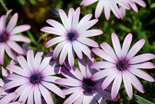 骨籽菊属,雏菊,美,水平画幅,无人,夏天,户外,特写,植物生长阶段,植物