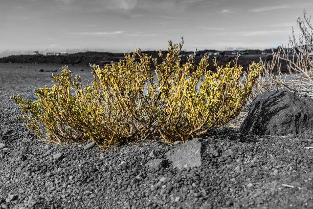 兰萨罗特岛,海滩,开花植物,艺术,水平画幅,沙子,大西洋,大西洋群岛,户外,植物