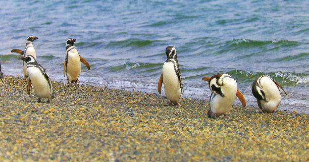 Gentoo Penguin group dancing along on a secluded beach, Tierra Del fuego, Argentina – South America