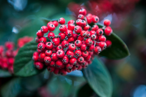 冬青树,叶子,水果,欧洲,正面视角,留白,纹理效果,山楂,明亮,彩色图片