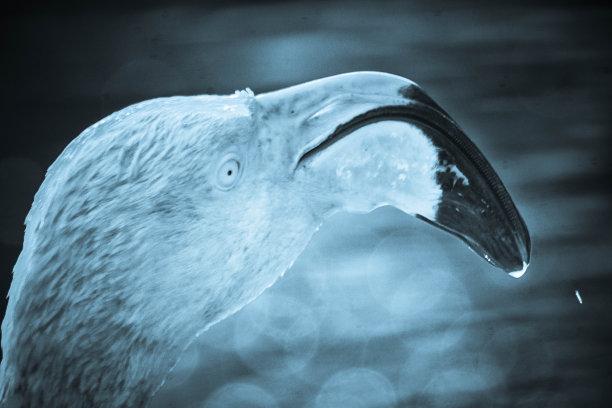火烈鸟,水平画幅,无人,鸟类,动物身体部位,野外动物,户外,湖,单色调,特写