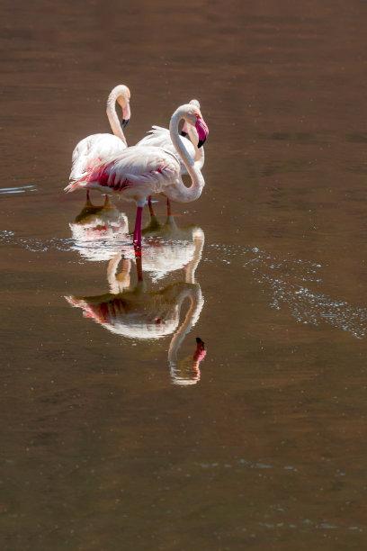 火烈鸟,自然,垂直画幅,水,野生动物,湖岸,无人,鸟类,非洲,野外动物