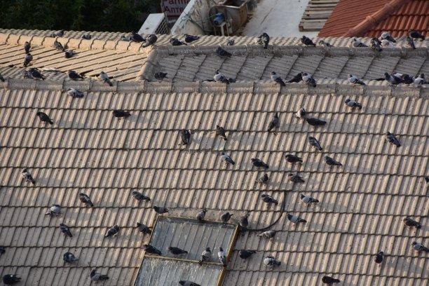 鸟类,自然,瓦,灰色,水平画幅,秋天,无人,原鸽,城市生活,户外