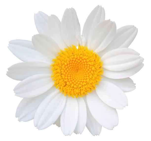 白色背景,雏菊,分离着色,水平画幅,无人,色彩鲜艳,背景分离,特写,仅一朵花,自然美
