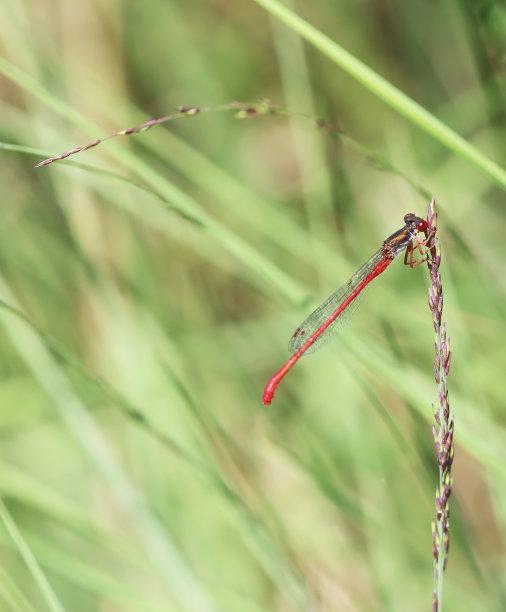 豆娘,小的,雄性动物,红色,垂直画幅,选择对焦,窄翅蜻蛉,草原,无人,动物身体部位