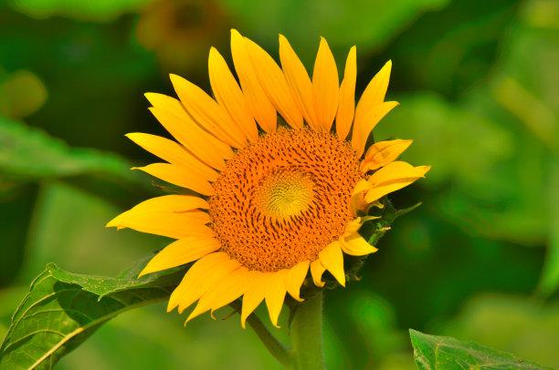 向日葵,花朵,金色,留白,水平画幅,无人,野生动物保护,户外,彩色图片,风景