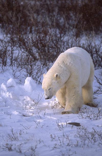 野外动物,北极熊,一只动物,垂直画幅,柳树,寒冷,野生动物,马尼托巴湖,雪,无人