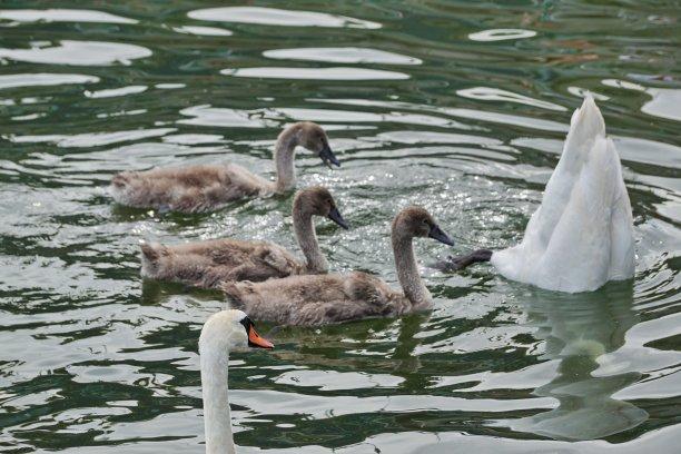 基姆湖,巴伐利亚,德国,等,小天鹅,公亩,未来,三只动物,正面视角,水