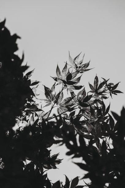 单色调,枫叶,日本,垂直画幅,天空,留白,美国,无人,枫树,高对比度