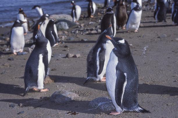 野外动物,特写,巴布亚企鹅,南极洲,一群鸟,海滩,自然,水平画幅,橙色,可爱的