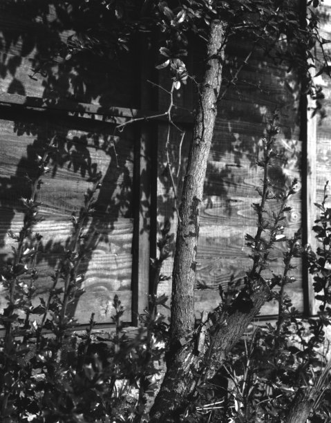 英格兰,植物群,垂直画幅,植物,无人,英国,冬青树,黑白图片,篱笆,树