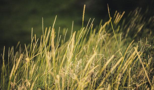 草,草原,水平画幅,无人,户外,干的,光,特写,彩色图片,黎明