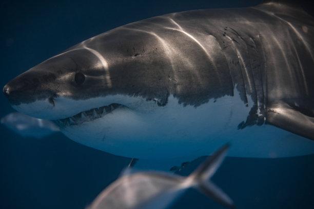 鲨鱼,特写,水,水平画幅,野外动物,户外,决心,光,大洋洲,动物鳍
