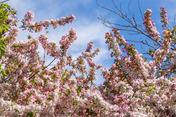 季节,春天,野苹果树,粉色,宏伟,天空,海棠,公园,水平画幅,樱花